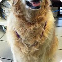 Adopt A Pet :: Sugar II - BIRMINGHAM, AL