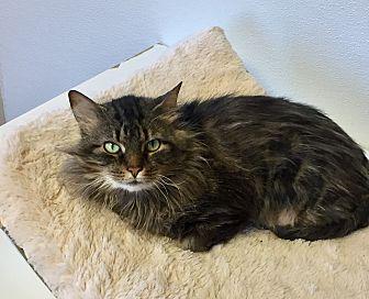 Domestic Longhair Cat for adoption in Greensburg, Pennsylvania - Rosemary