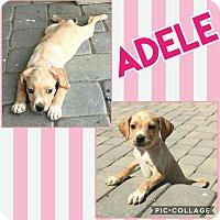 Adopt A Pet :: Adele - Scottsdale, AZ