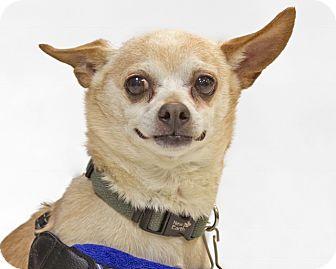 Chihuahua Dog for adoption in Detroit, Michigan - Pavarotti