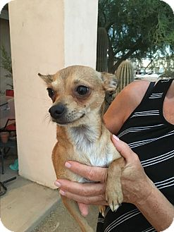 Chihuahua/Terrier (Unknown Type, Small) Mix Dog for adoption in Phoenix, Arizona - Jenna