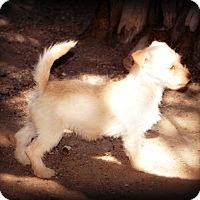 Adopt A Pet :: Piper - Tijeras, NM