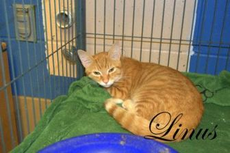 Domestic Shorthair/Domestic Shorthair Mix Cat for adoption in Middleburg, Florida - Linus