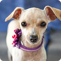 Chihuahua Dog for adoption in Victoria, British Columbia - Lily