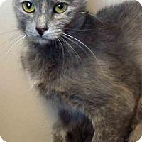 Domestic Shorthair Cat for adoption in Oswego, Illinois - Tonya
