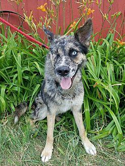 Australian Shepherd/Siberian Husky Mix Dog for adoption in Minot, North Dakota - Phoenix