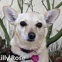 Adopt A Pet :: Lilly Rose - Lake Forest, CA