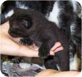 Bombay Kitten for adoption in Farmington, Michigan - Brian & Fenton: UPDATE