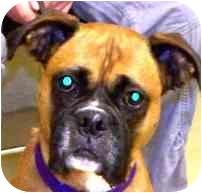 Boxer Dog for adoption in Sunderland, Massachusetts - Shyla