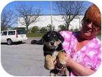 Australian Shepherd Mix Puppy for adoption in Rochester, New Hampshire - Sugar