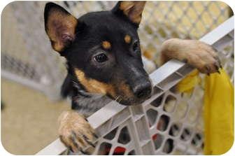 Cattle Dog Mix Puppy for adoption in Cincinnati, Ohio - Baretta
