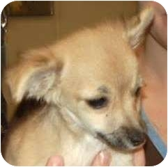 Pomeranian Mix Puppy for adoption in Broomfield, Colorado - Scooter