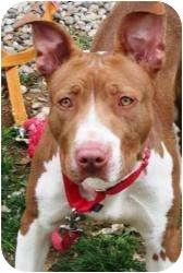 Labrador Retriever/Pit Bull Terrier Mix Dog for adoption in Bloomfield, Connecticut - Jillaroo