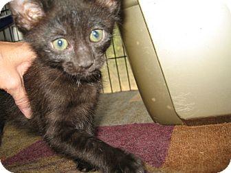 Domestic Mediumhair Kitten for adoption in Bulverde, Texas - Rebel