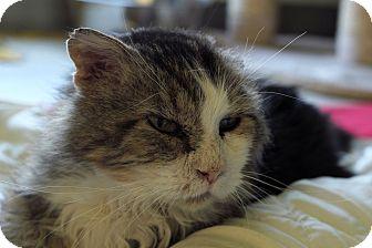Domestic Longhair Cat for adoption in Chicago, Illinois - Inigo Montoya