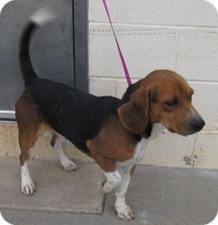 Beagle Mix Dog for adoption in Stillwater, Oklahoma - Jim Bob