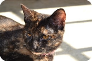 Domestic Shorthair Cat for adoption in Nashville, Tennessee - Claire