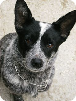Blue Heeler Mix Dog for adoption in Plainfield, Connecticut - Roxie