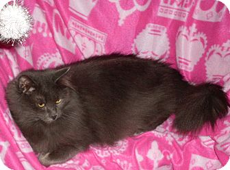 Domestic Longhair Cat for adoption in Buhl, Idaho - Graylin