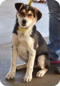 Husky/Hound (Unknown Type) Mix Puppy for adoption in Bluemont, Virginia - GIDEON JARU