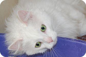 Domestic Longhair Cat for adoption in Bucyrus, Ohio - Albert Einstein
