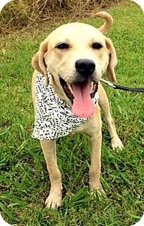 Labrador Retriever/Weimaraner Mix Dog for adoption in Leland, Mississippi - ADDIE