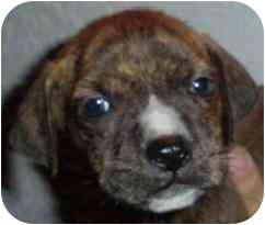 American Pit Bull Terrier Puppy for adoption in Lake Worth, Florida - Cody