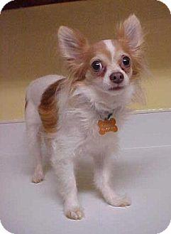 Chihuahua Dog for adoption in Dahlgren, Virginia - Gizmo - 6 lbs