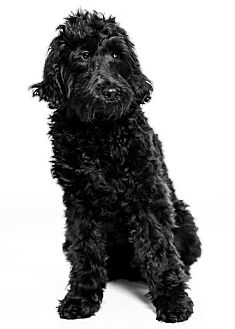Labradoodle Puppy for adoption in Beachwood, Ohio - Doodle