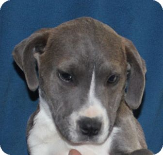 Labrador Retriever/Pit Bull Terrier Mix Puppy for adoption in Colonial Heights, Virginia - Comet