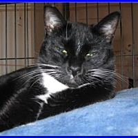 Domestic Shorthair Cat for adoption in Oakland, Oregon - Mia