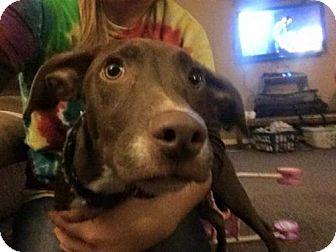 Greyhound/Terrier (Unknown Type, Medium) Mix Dog for adoption in House Springs, Missouri - brandy