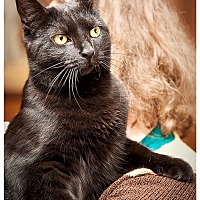 Domestic Shorthair Cat for adoption in Middletown, New York - Talia
