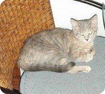 Domestic Shorthair Cat for adoption in Hampton, Virginia - GRETTA