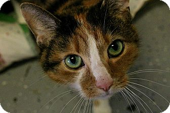 Domestic Shorthair Cat for adoption in Martinsville, Indiana - Hisserbell