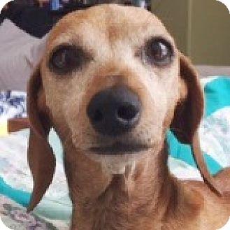 Dachshund Dog for adoption in Houston, Texas - Stephanie Strike