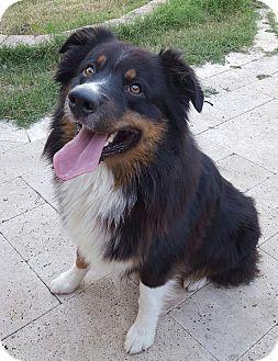 Australian Shepherd Mix Dog for adoption in Plano, Texas - Beau
