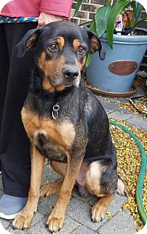 Rottweiler Mix Dog for adoption in Palatine, Illinois - Liam