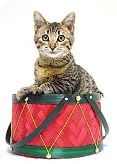 Domestic Shorthair Kitten for adoption in Dublin, California - Tater