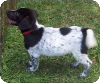 Labrador Retriever/Pointer Mix Puppy for adoption in Hammonton, New Jersey - Berta's #2 boy
