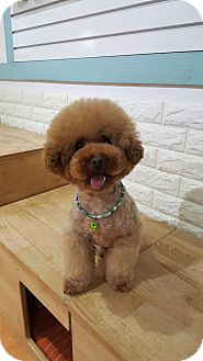 Poodle (Miniature) Dog for adoption in Ft Collins, Colorado - Cuddly
