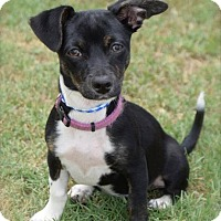 Adopt A Pet :: Hydra - Midland, TX