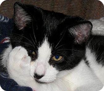 Domestic Shorthair Cat for adoption in Trenton, New Jersey - Steve (FD)