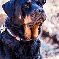 Rottweiler Dog for adoption in Port Washington, New York - Elsa