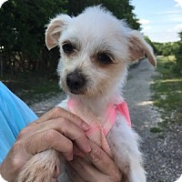 Adopt A Pet :: Pixie ADBR in TX - Providence, RI