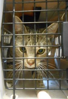 Domestic Shorthair/Domestic Shorthair Mix Cat for adoption in Carsonville, Michigan - Princess