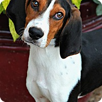 Coonhound (Unknown Type) Mix Dog for adoption in Jackson, Mississippi - Billy Bob