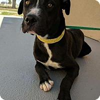 Adopt A Pet :: Hudson - Amarillo, TX