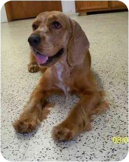 Cocker Spaniel Dog for adoption in Sugarland, Texas - Dax