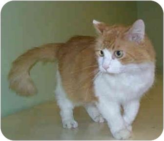 Domestic Longhair Cat for adoption in Murphysboro, Illinois - Lorenzo